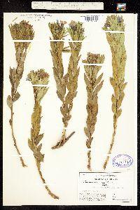 Image of Amsonia angustifolia