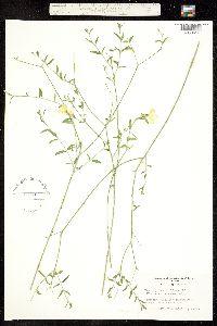 Haplophyton cimicidum image
