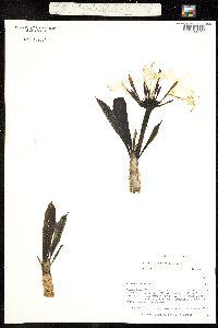 Plumeria acutifolia image