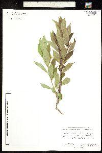 Mandevilla foliosa image