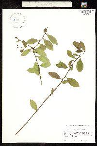 Image of Ilex coriacea