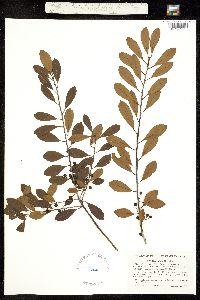 Image of Ilex glabra