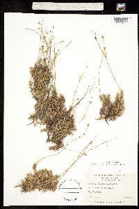 Image of Minuartia caroliniana