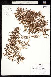 Paronychia herniarioides image