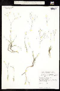 Image of Minuartia rosei