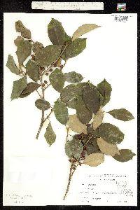 Image of Ilex opaca