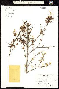 Image of Ilex myrtifolia