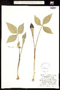 Image of Arisaema triphyllum