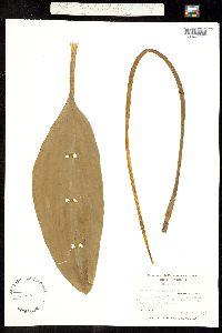 Image of Orontium aquaticum