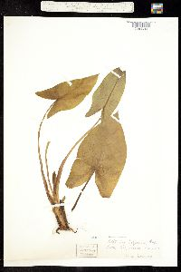 Image of Peltandra virginica