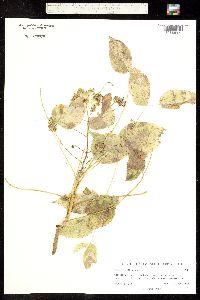 Aralia humilis image