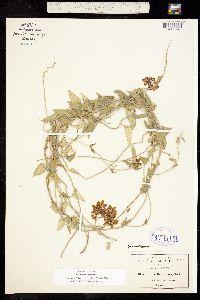 Funastrum elegans image