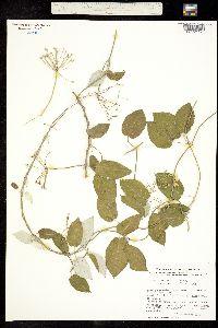 Funastrum pannosum image