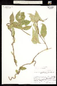 Marsdenia edulis image
