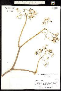 Aralia racemosa subsp. bicrenata image