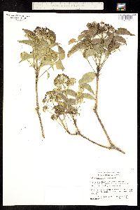 Aralia scopulorum image