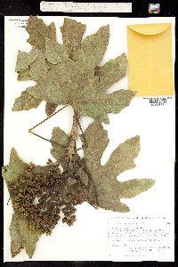 Oreopanax peltatum image