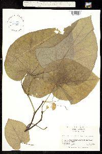 Image of Aristolochia macrophylla