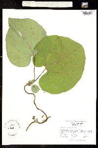 Aristolochia macrophylla image