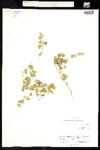 Aristolochia coryi image