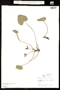 Hexastylis arifolia image