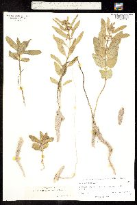 Asclepias contrayerba image