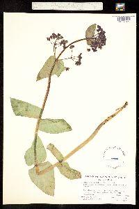 Asclepias cordifolia image