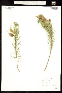 Asclepias linaria image