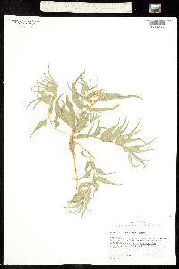Asclepias involucrata image