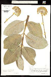 Asclepias ovata image