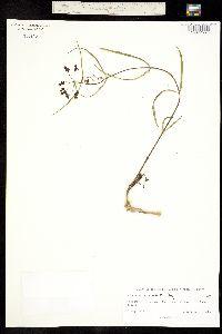 Asclepias quinquedentata image