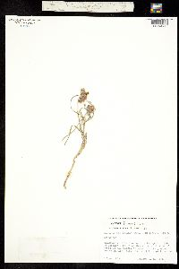 Asclepias fournieri image