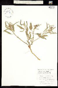 Asclepias emoryi image