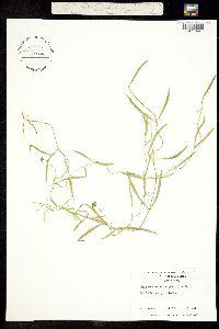 Image of Lyonia palustris