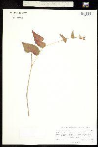 Begonia gracilis image