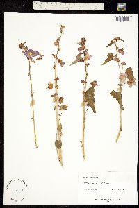 Begonia martiana image
