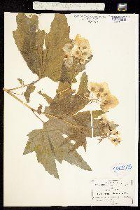 Begonia biserrata image