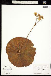 Begonia unifolia image