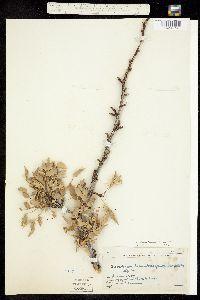Berberis haematocarpa image