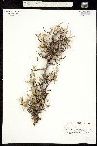 Berberis trifoliolata image