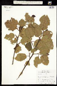 Alnus acuminata image