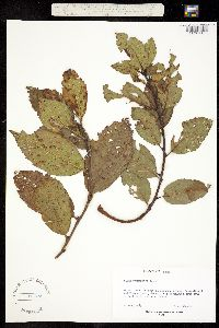 Alnus firmifolia image