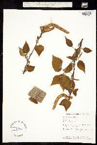 Betula borealis image