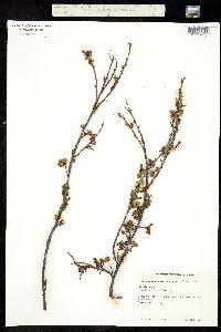 Betula nana ssp. exilis image