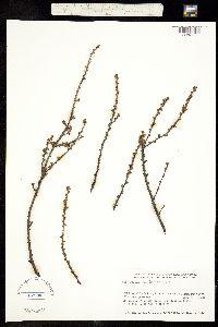 Betula michauxii image
