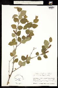 Betula minor image