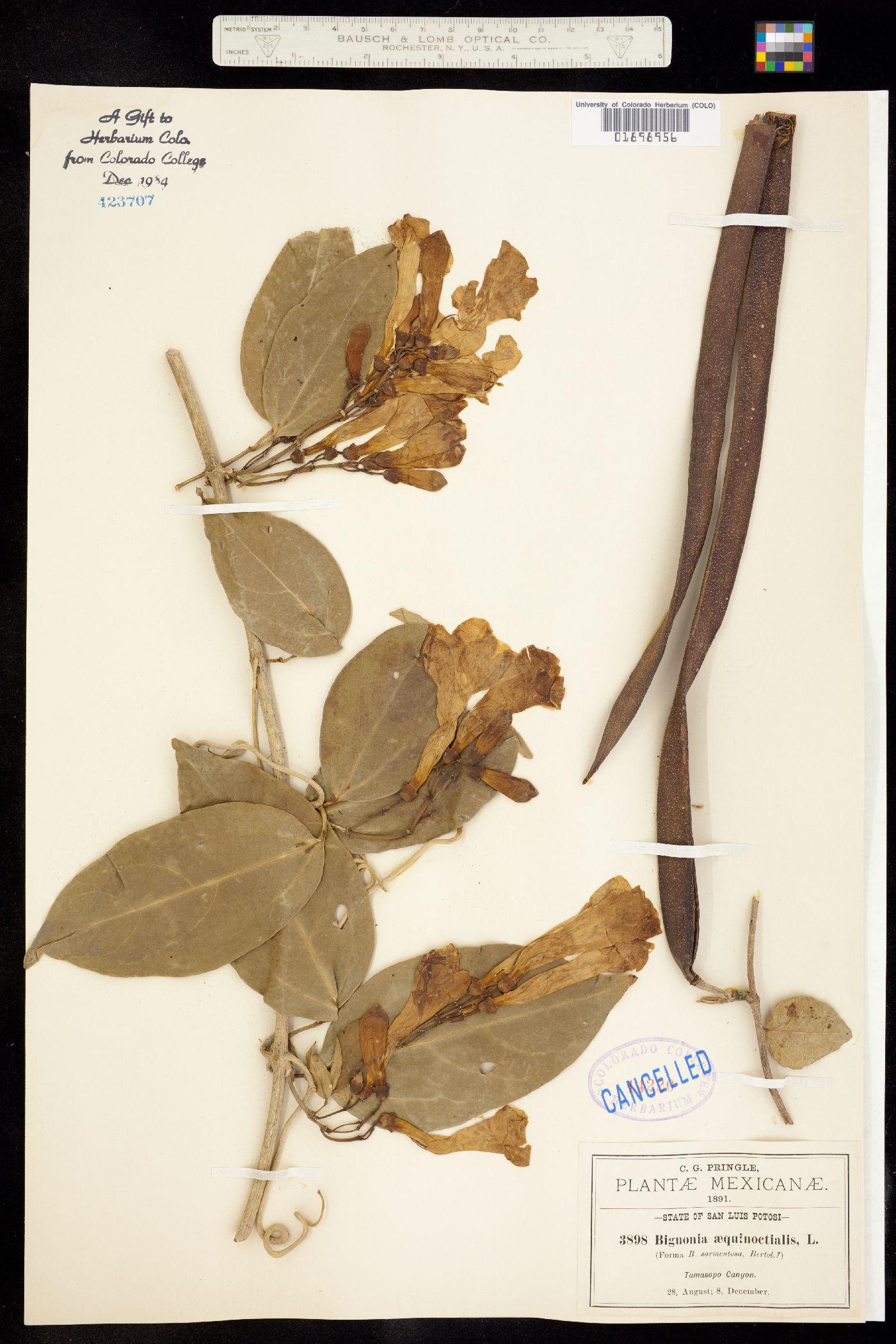 Bignonia aequinoctialis image