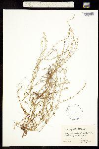 Plagiobothrys bracteatus var. bracteatus image