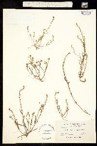 Plagiobothrys stipitatus var. stipitatus image