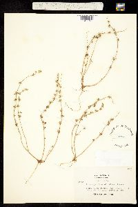 Plagiobothrys greenei image